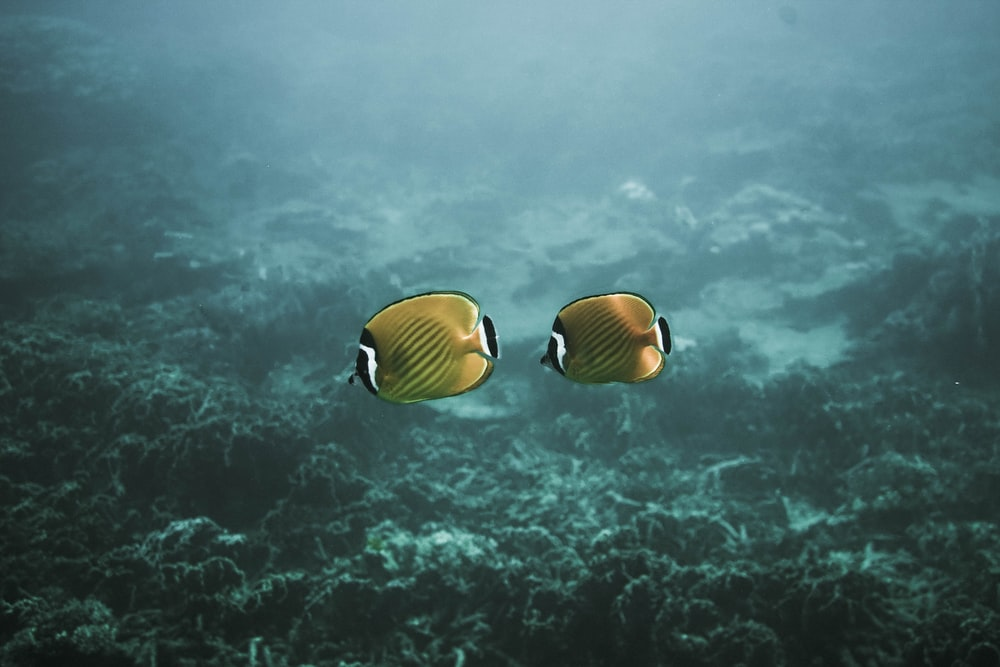 two yellow fishes underwater