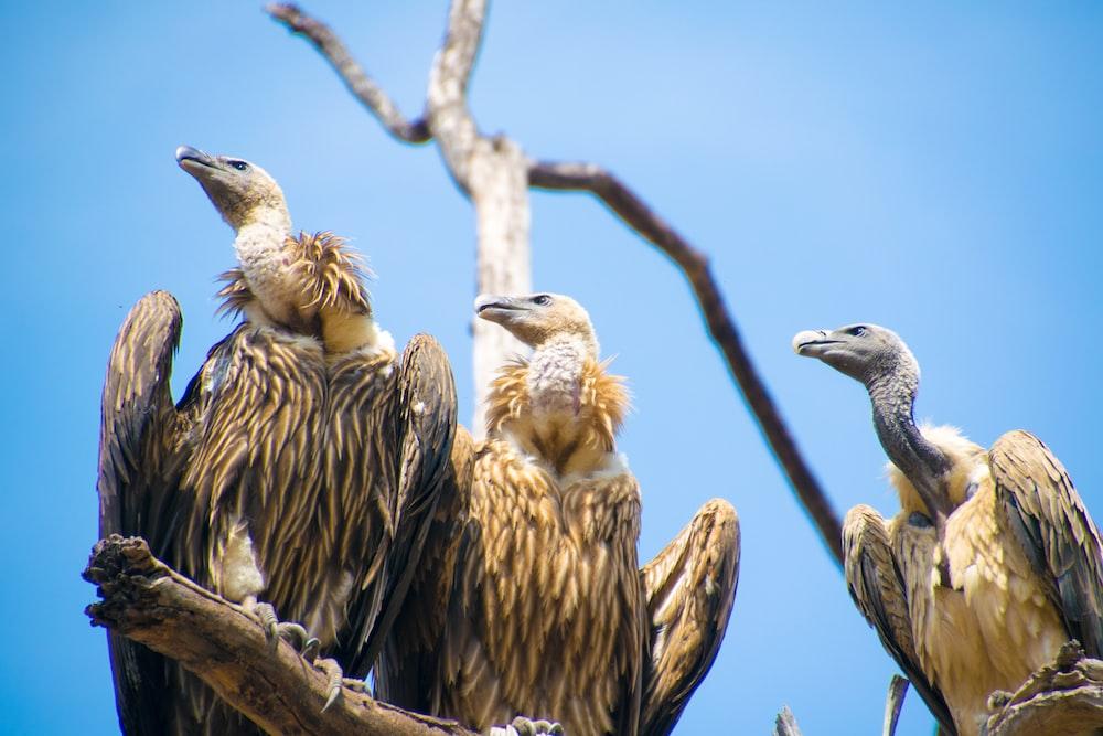 three brown condors