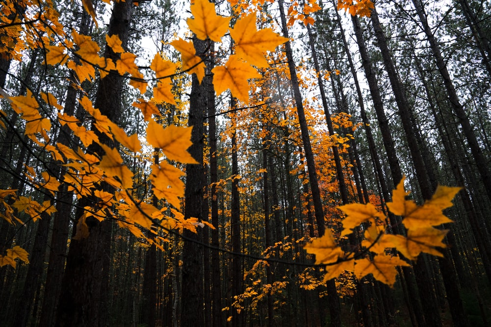 low-angle photography of brown maple trees