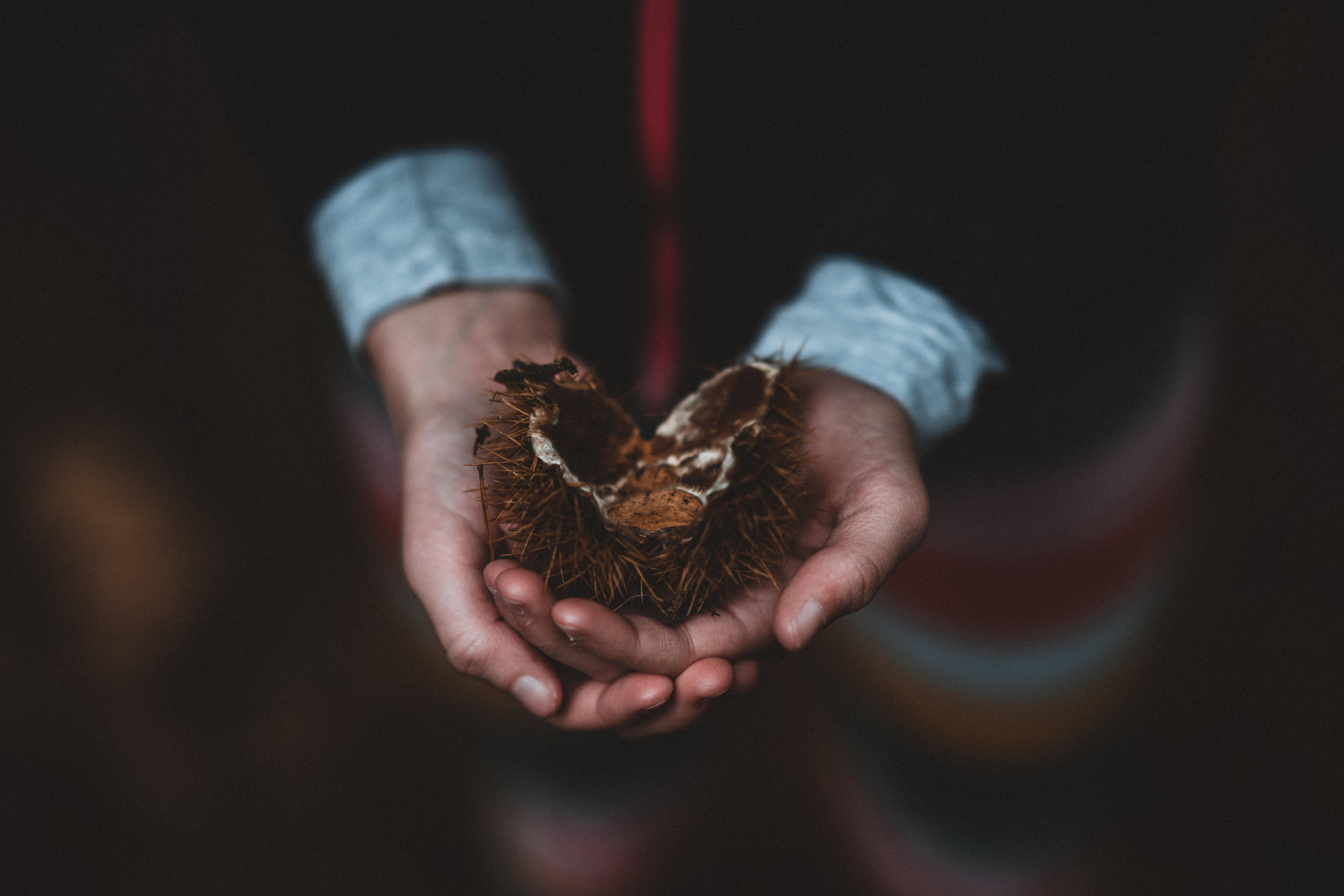 person holding brown sea urchin