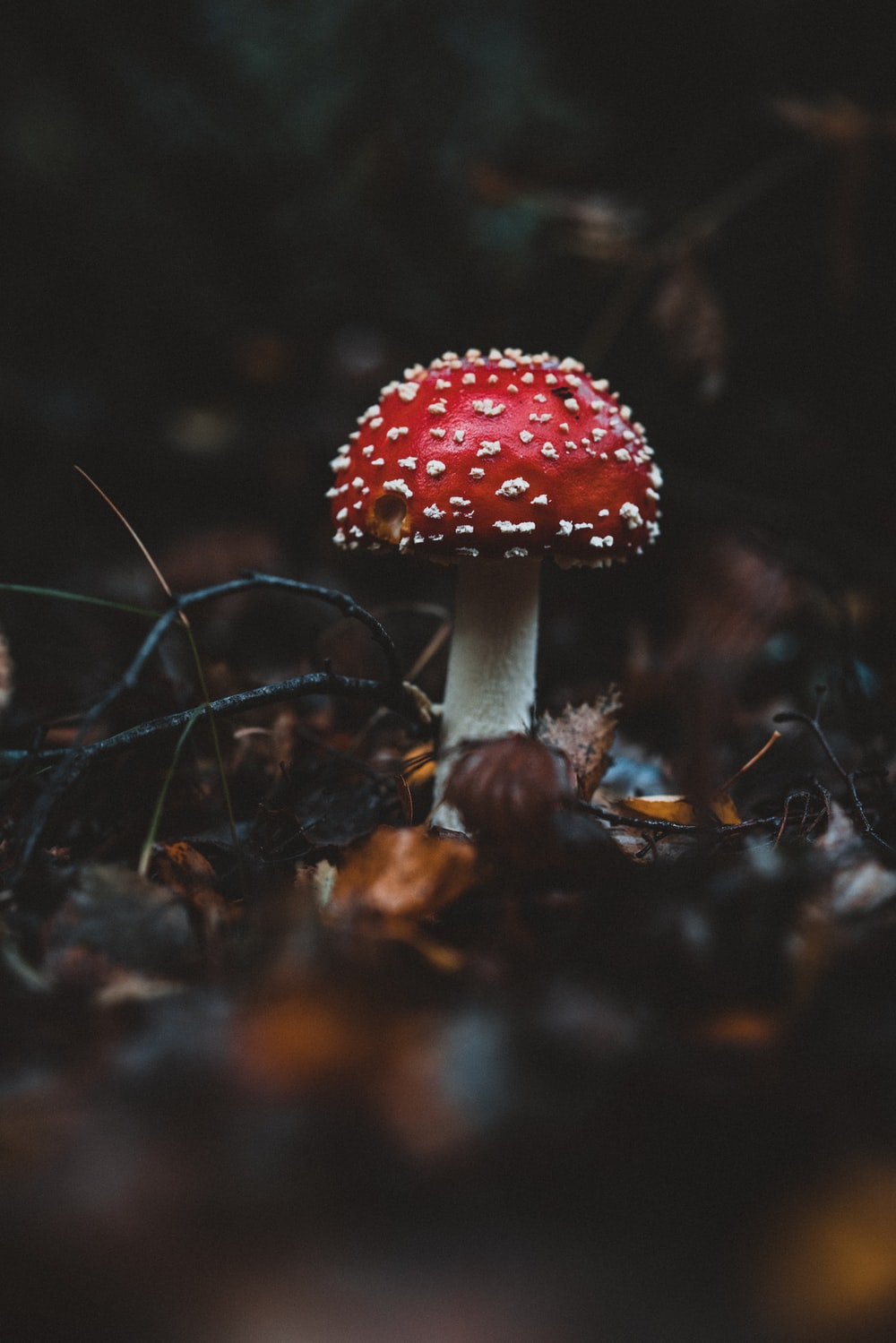 red and white mushroom in woods