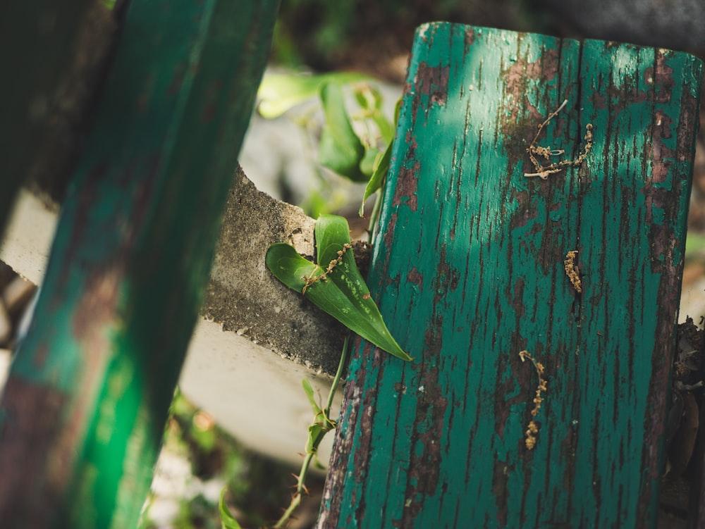 green heart shaped vine leaf on teal wooden fence