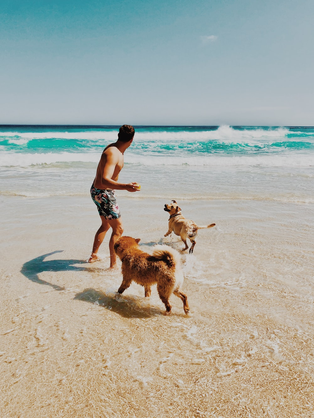 man and two adult golden retrievers playing in beach