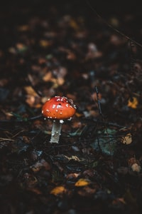 red and white mushroom on forest