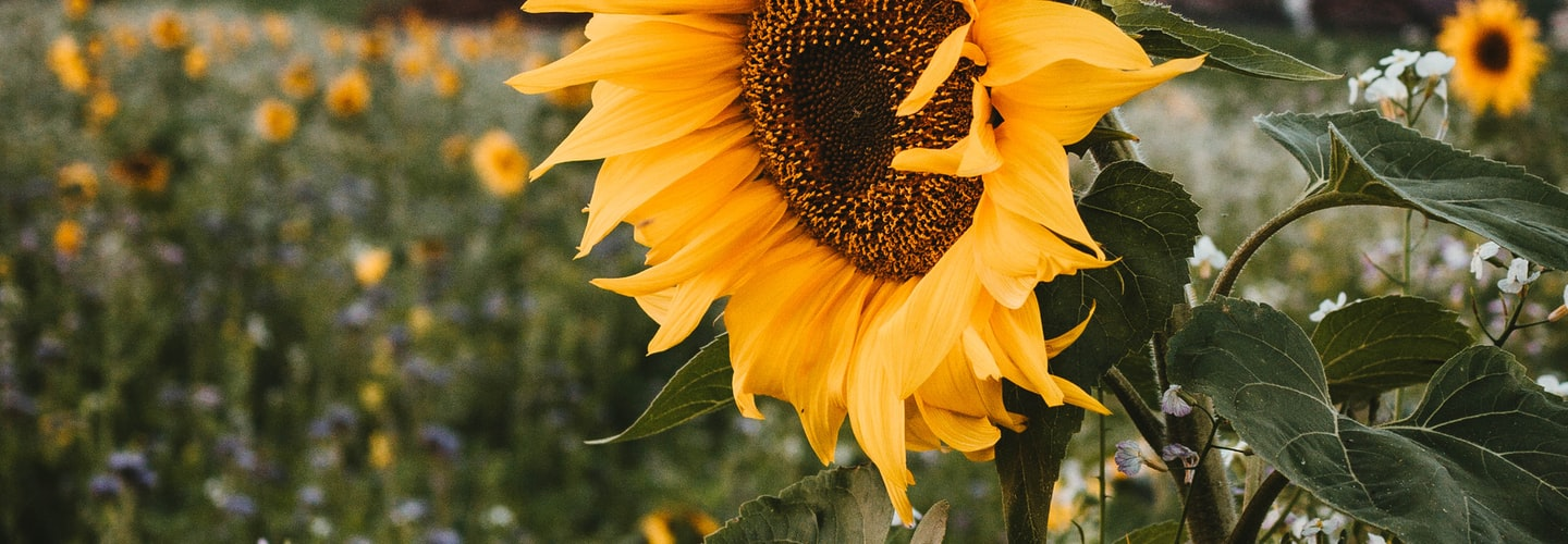 Sunflowers Yield Beauty Seeds and a Profit