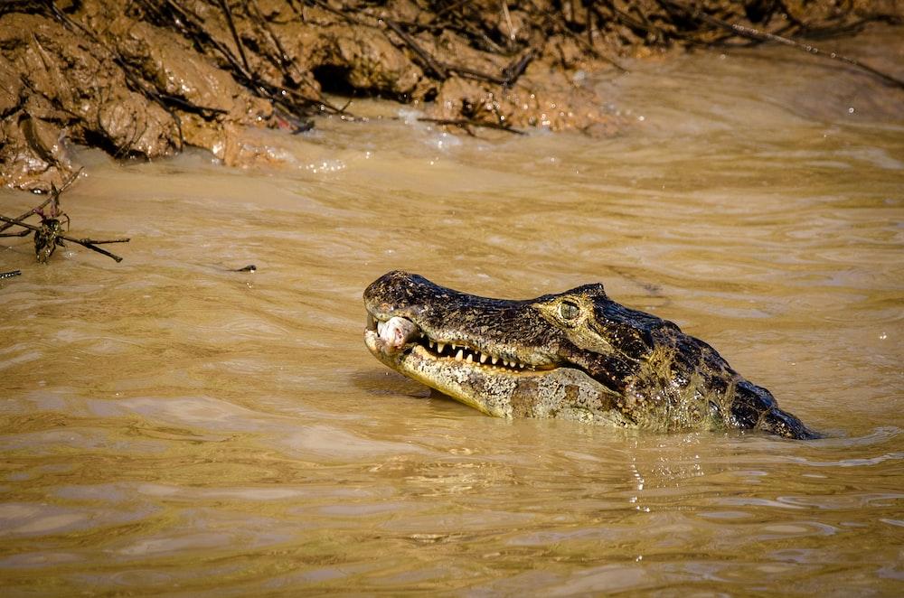 alligator caught fish at the river