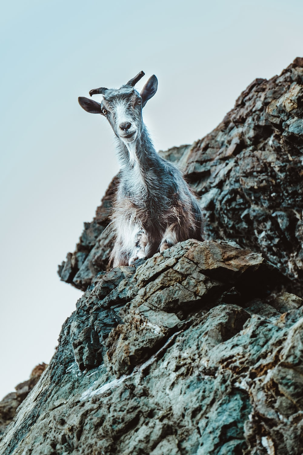 white and gray goat on rock formation at daytime