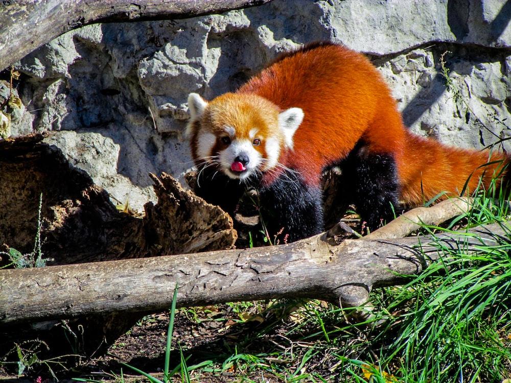 red panda standing between rock and tree branch