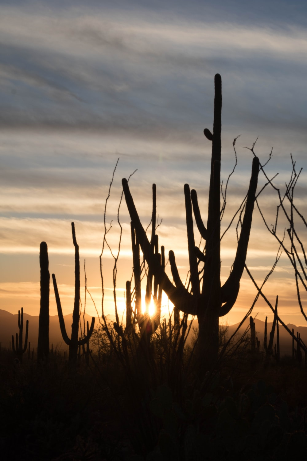 cacti silhouette across sunset photo