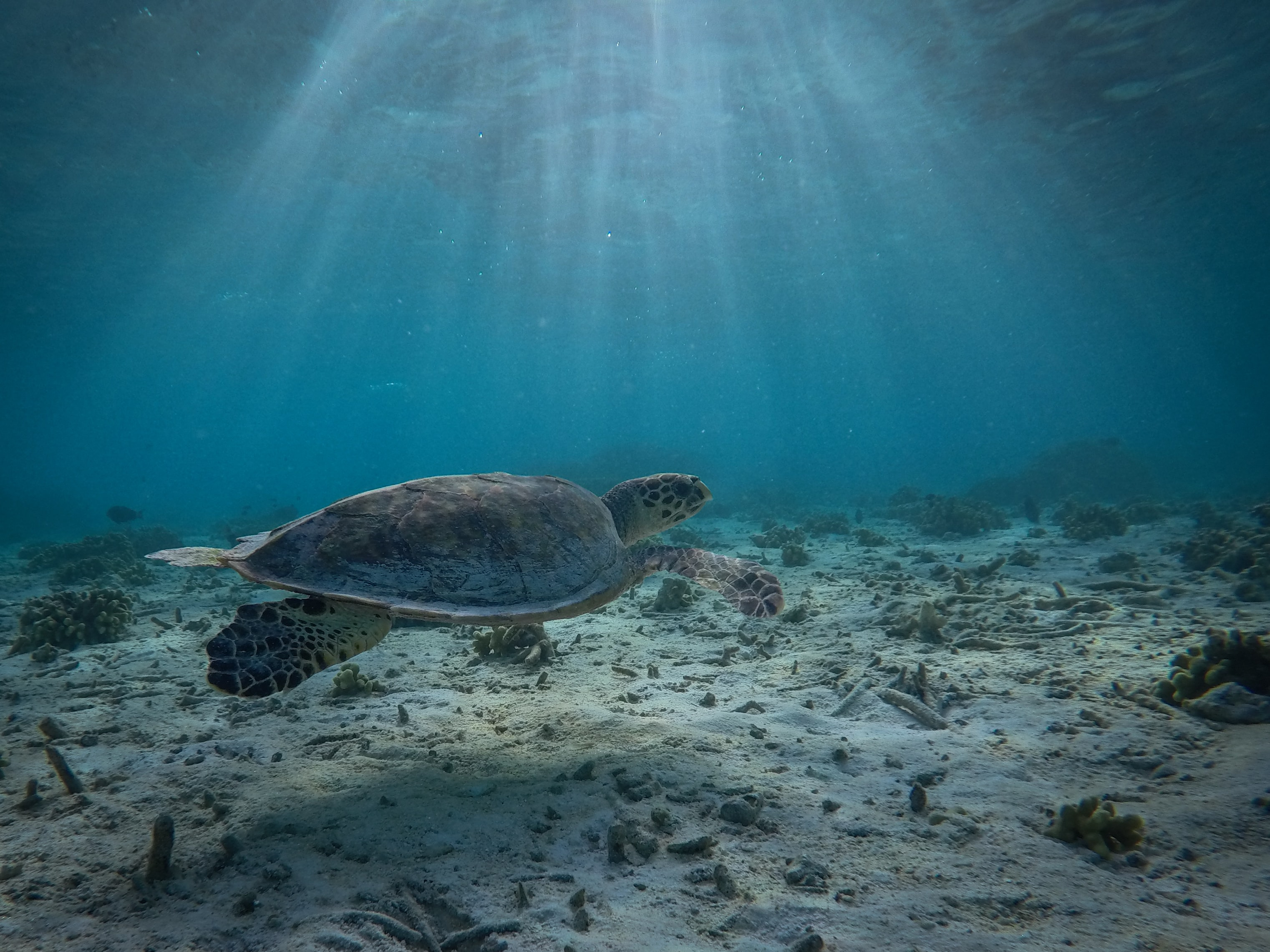 underwater photography of gray turtle