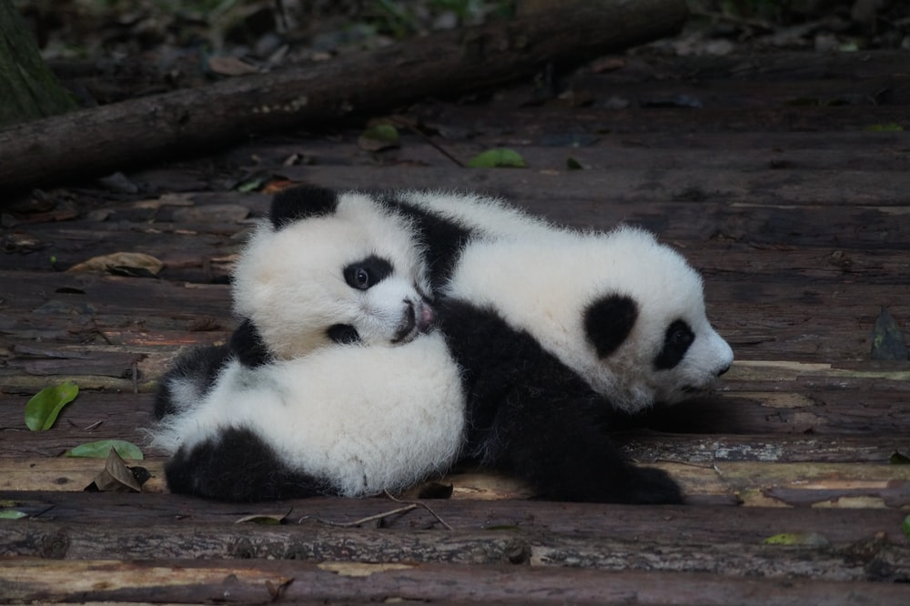 two white-and-black panda