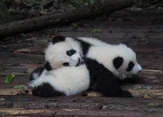 two white-and-black panda