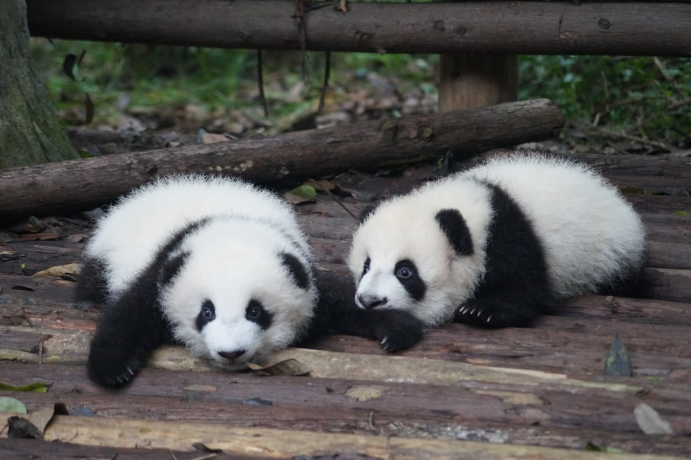 two white-and-black Pandas lying on floor during daytime