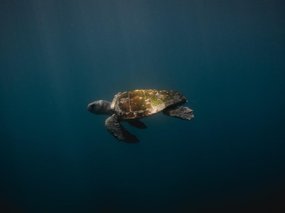 green turtle swim down