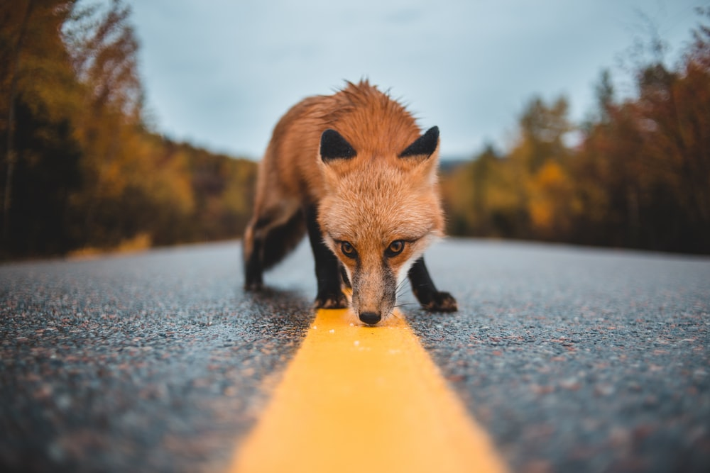red fox on concrete road