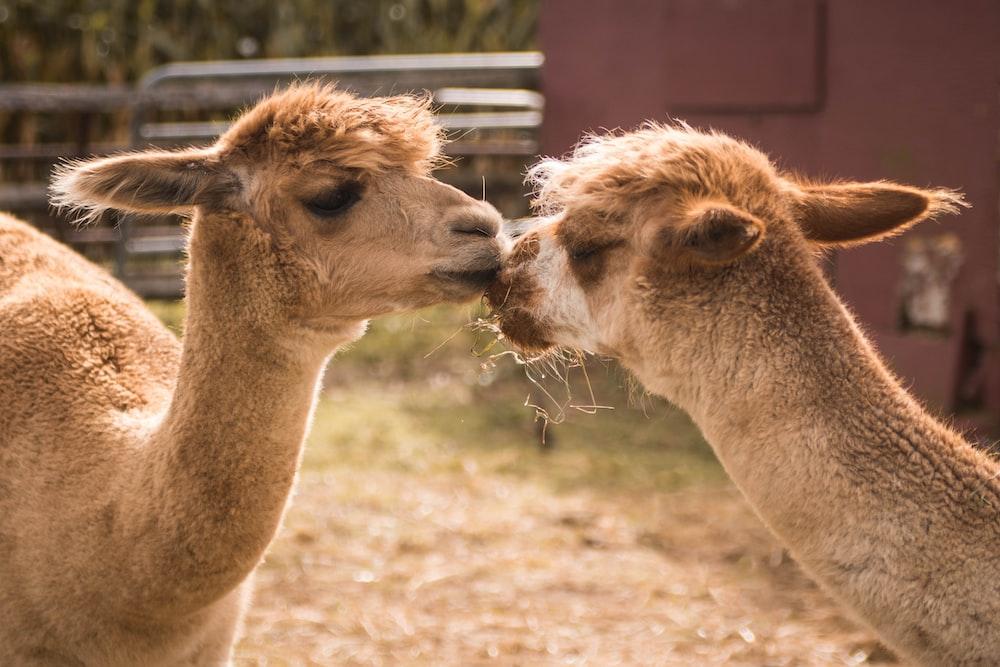 brown camels