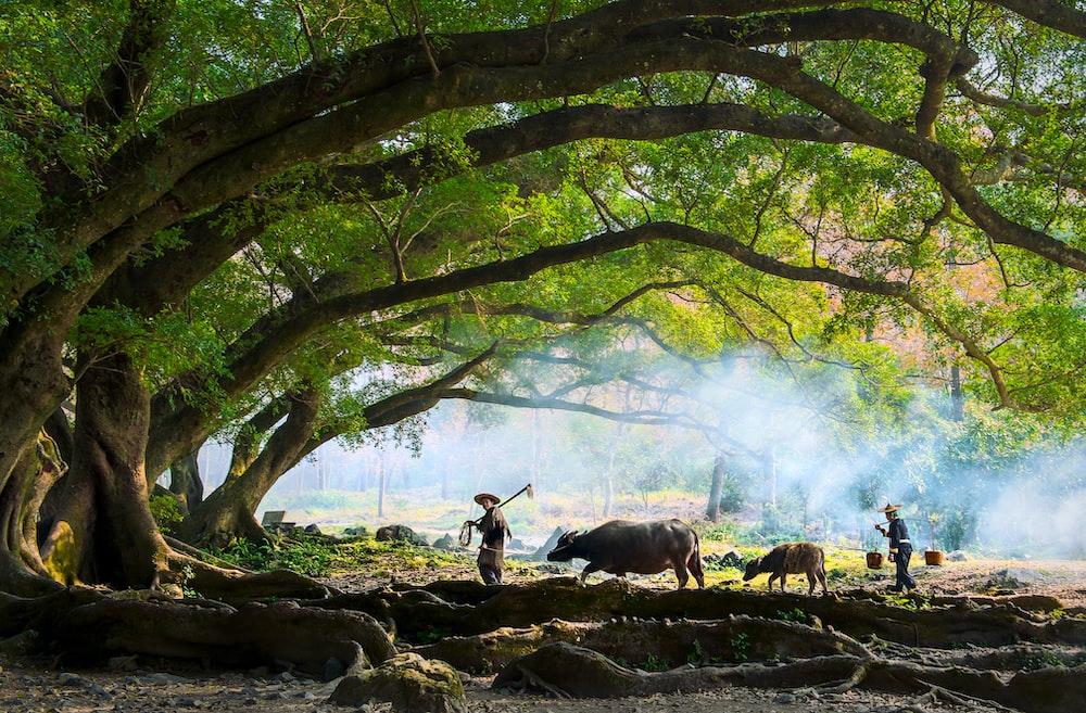 farmer walking with water buffalo under tree