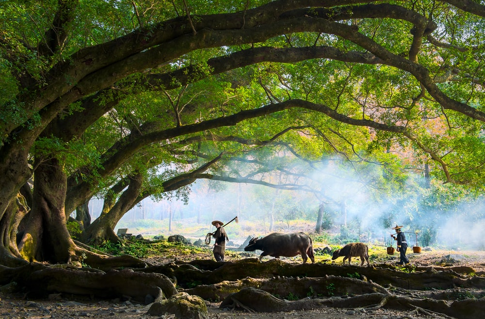 farmer walking with water buffalo under tree