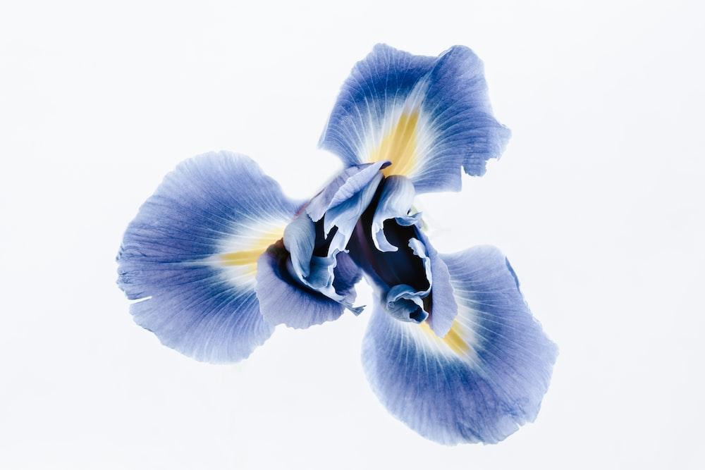 blue and yellow iris flower