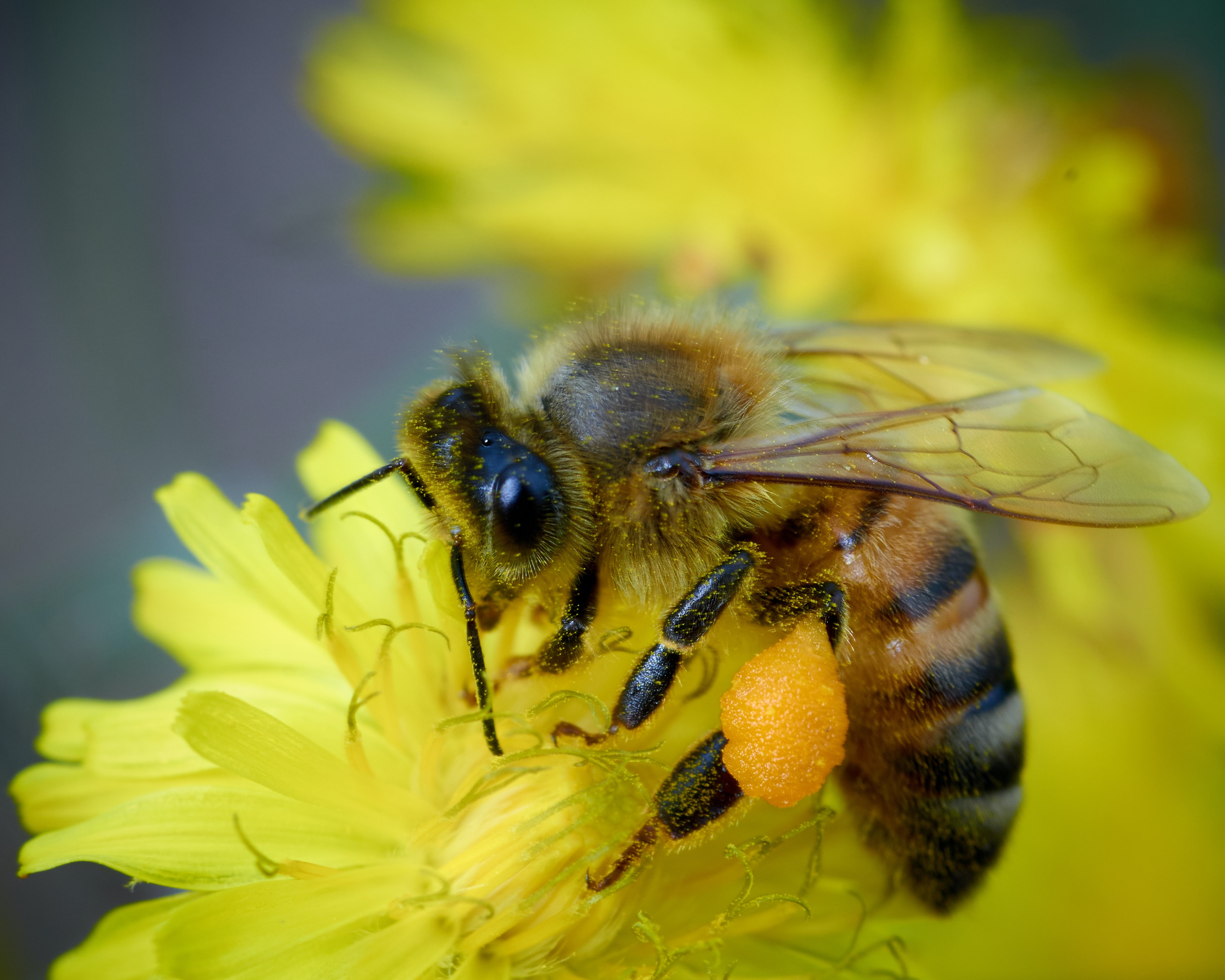 close-up photography of yellow and black honeybee on yellow dandelion flower