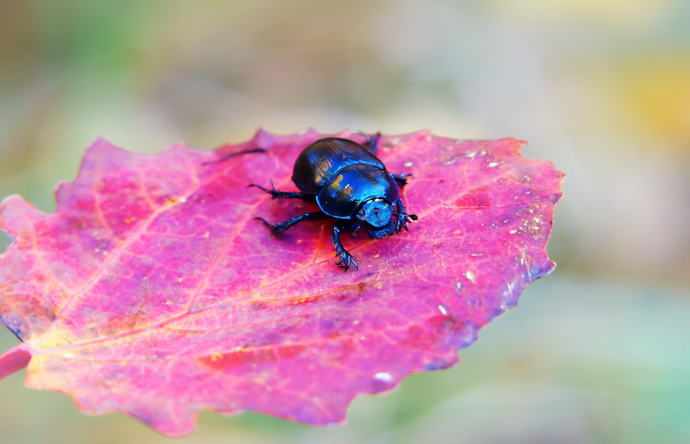 blue insect on the purple leafed plant