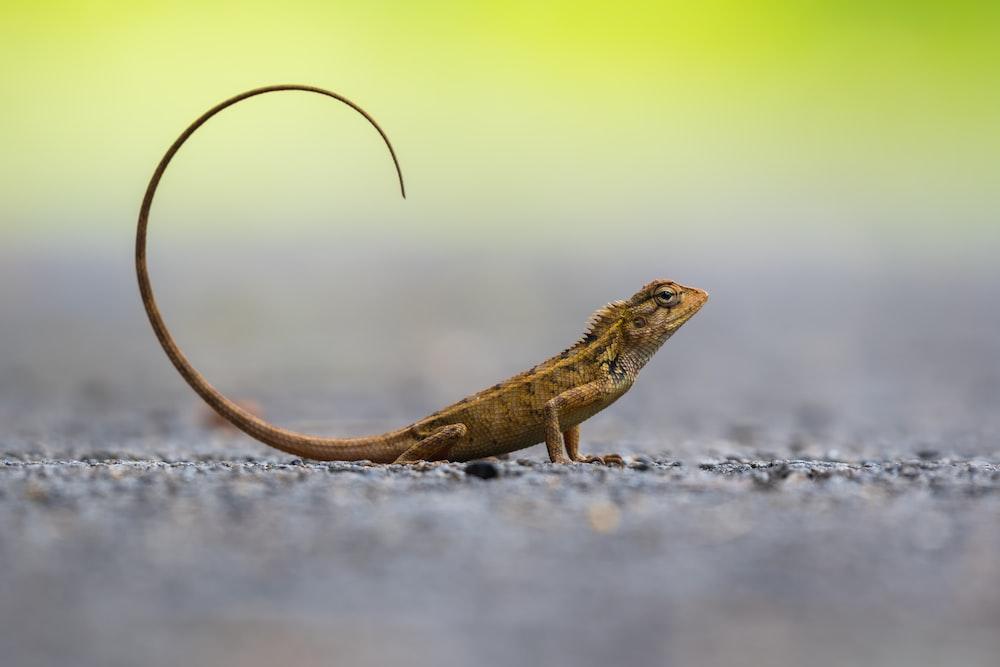 brown lizard photography