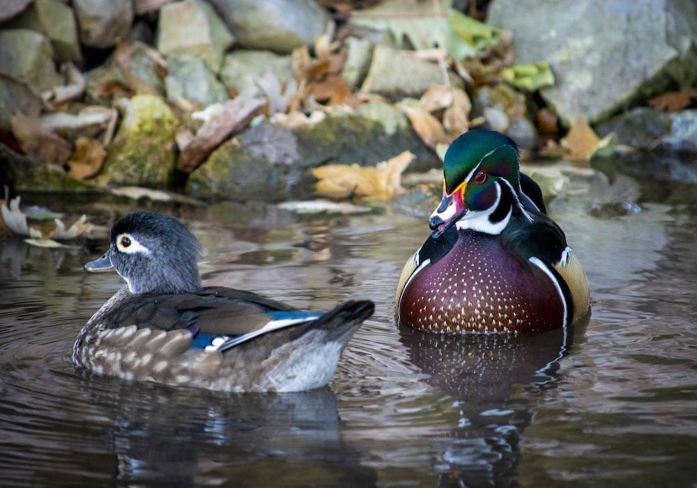 2 wild ducks on the water