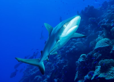 underwater shark marshall islands zoom background