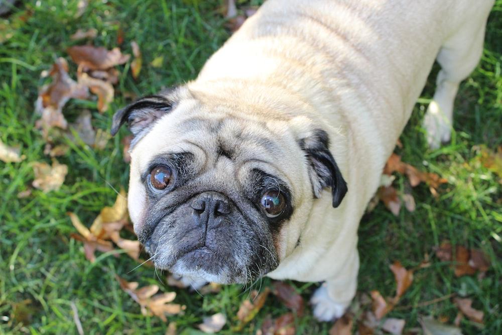 Pug Dog Pictures Download Free Images On Unsplash