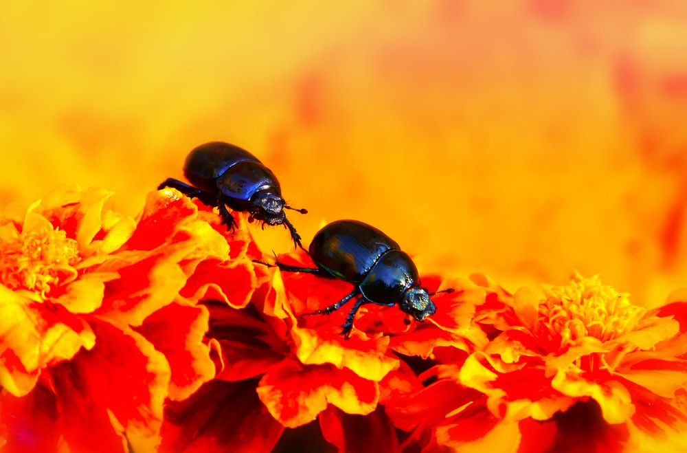 close-up of two black beetles