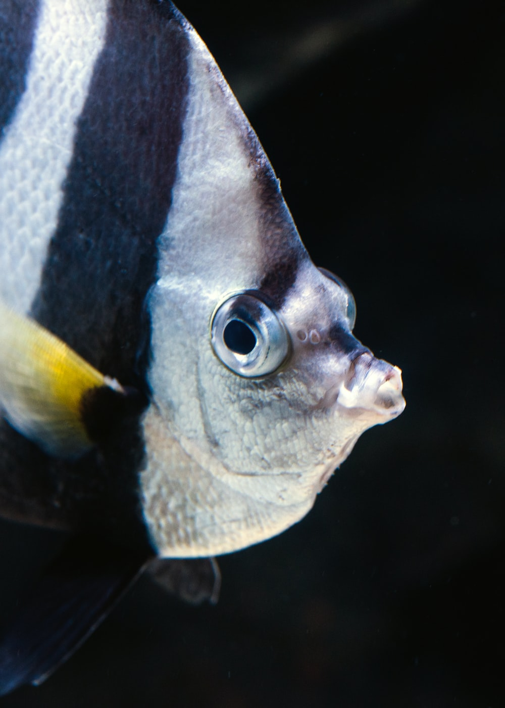 black and silver angelfish