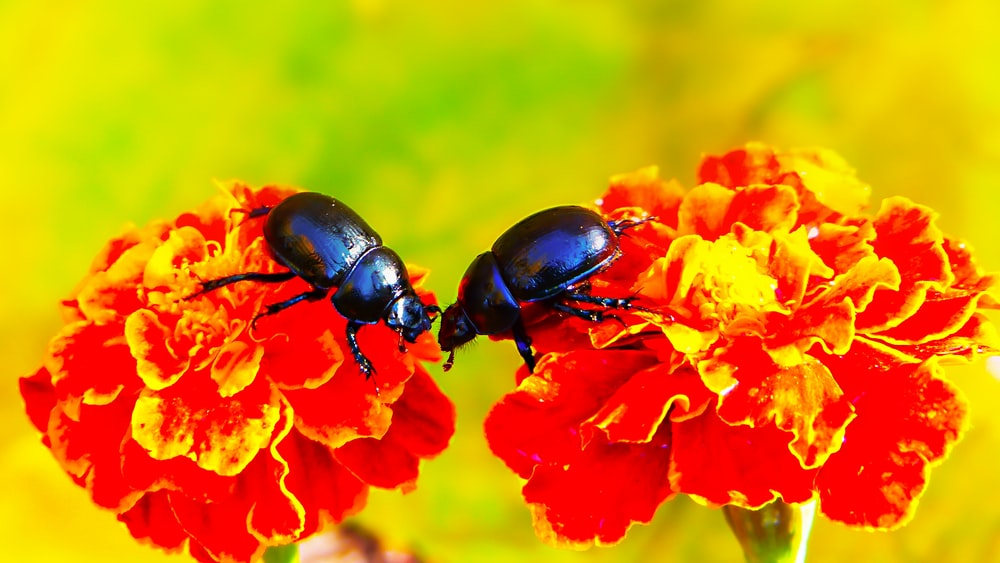 two black beetles perched on flowers