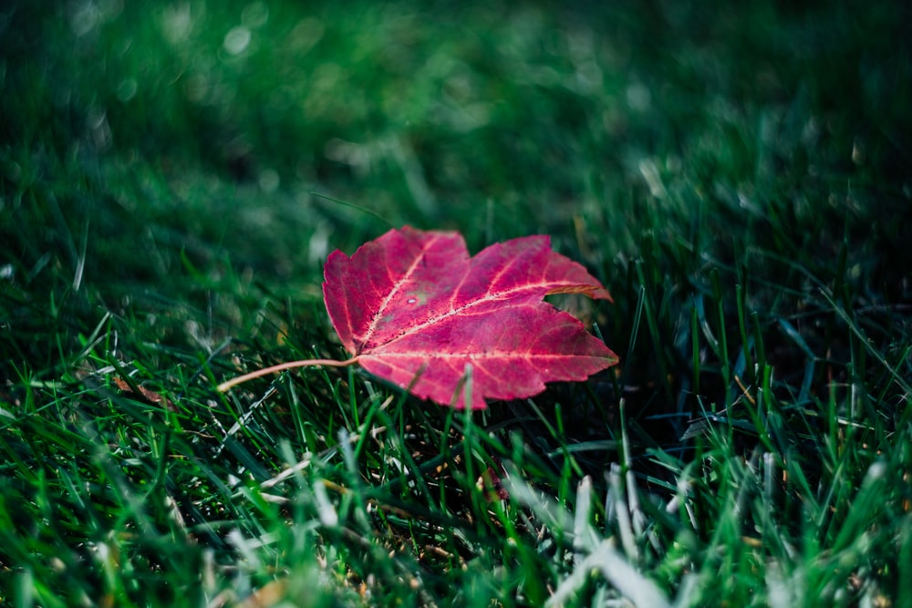 close-up photo of red maple leaf on green grass field