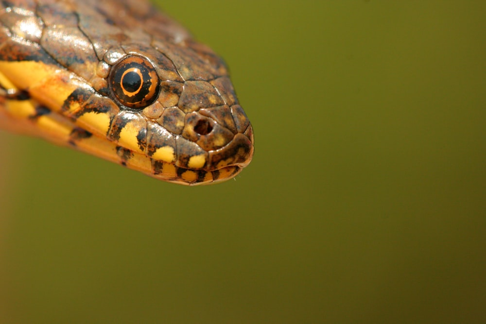 brown and orange head of snake