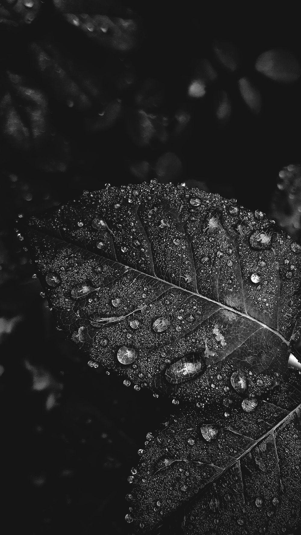 water drops on leaves black and white photography