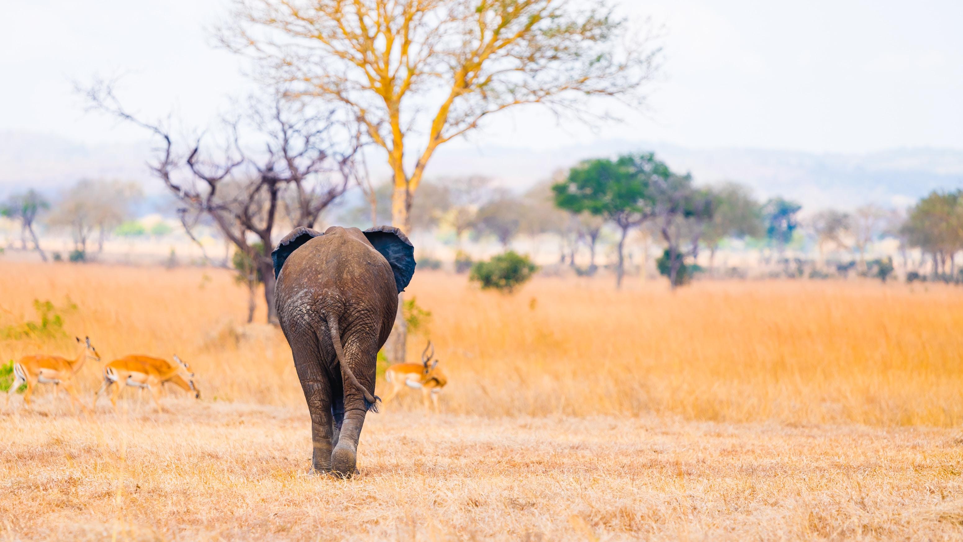 elephant walking near gazelle