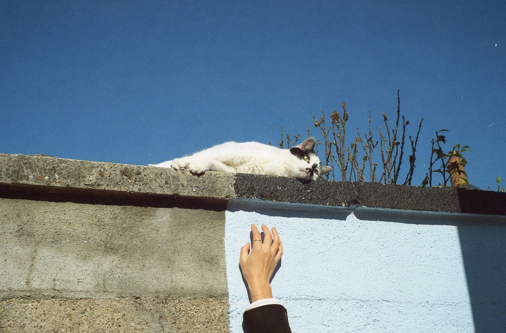 white and black bicolor cat
