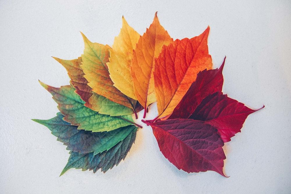 maple leaf illustration