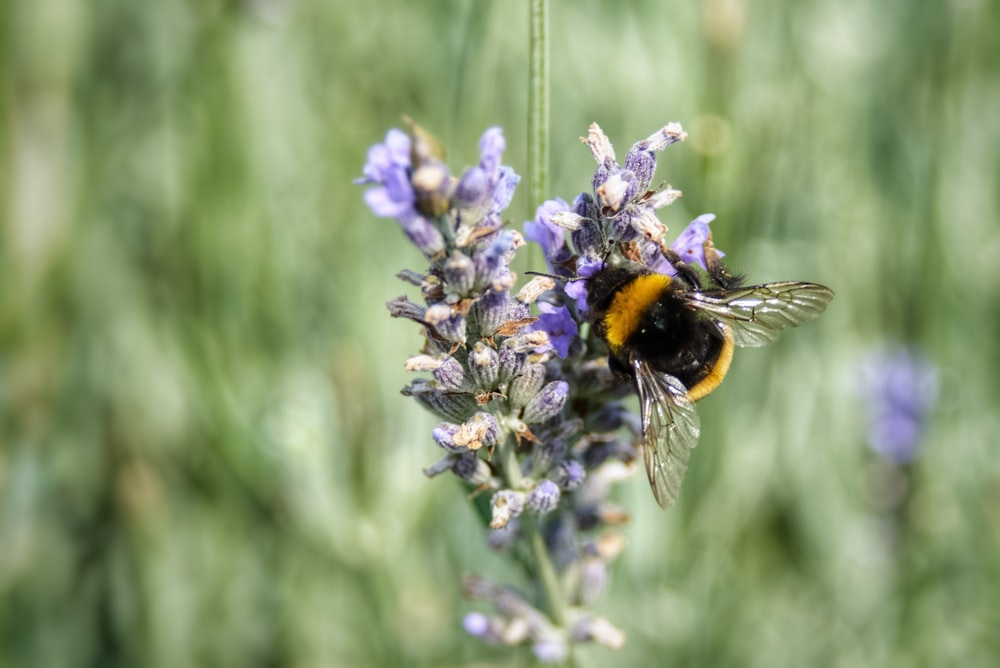 bee on purple lavender flower