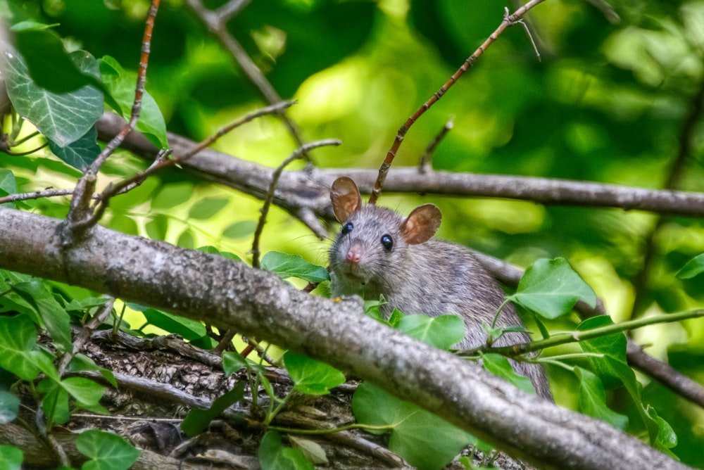 close-up photo of gray rat on brunch