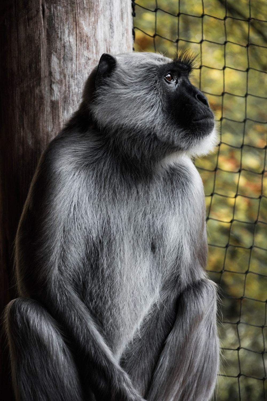 grey and black monkey sitting inside cage