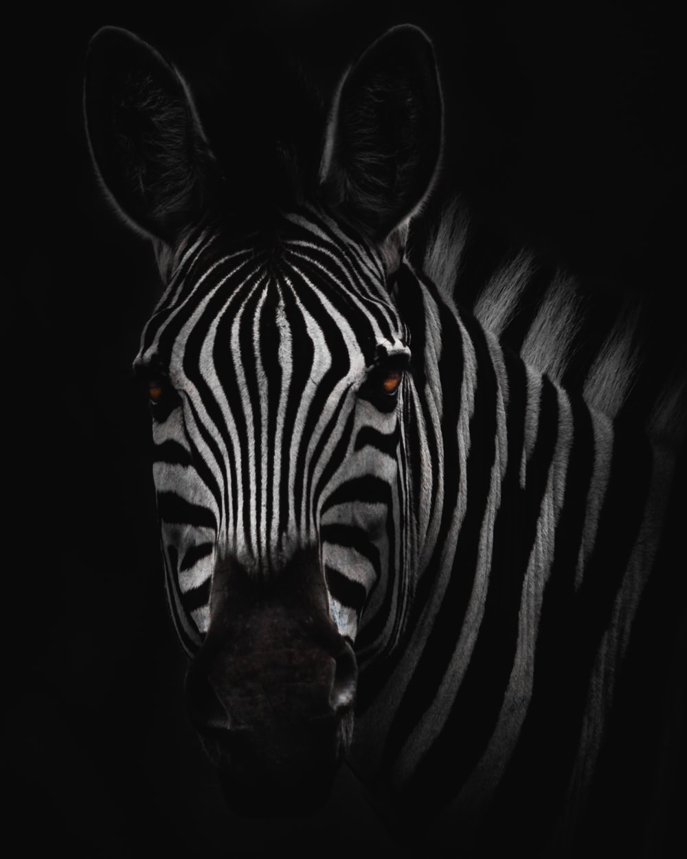 zebra in close-up photography
