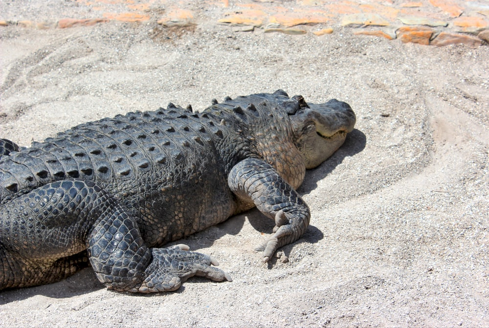 black alligator lying on white sand