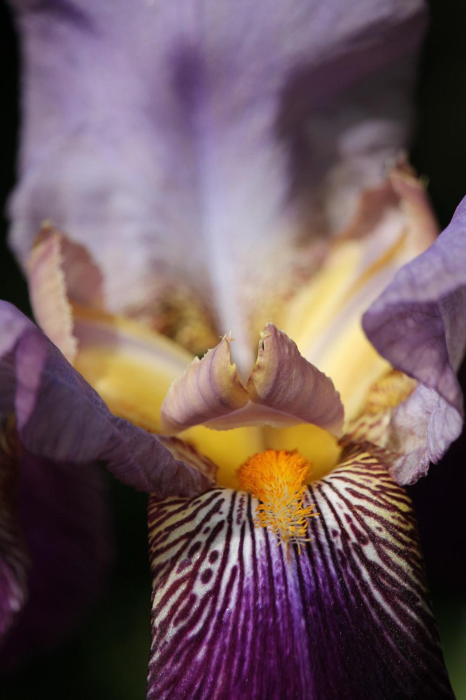 macro shot of purple and yellow flower