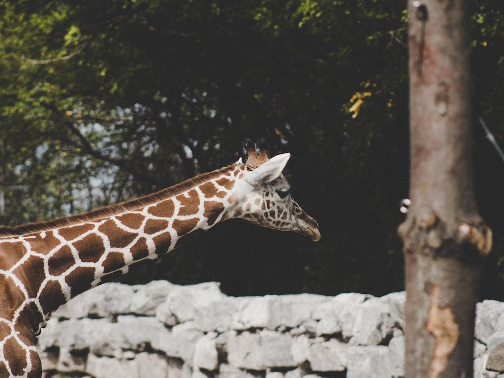 selective focus photo of giraffe