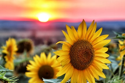 selective focus photography of sunflowers sunflower zoom background