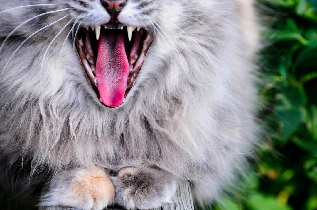 My cat Tish sitting on the deck yawning.