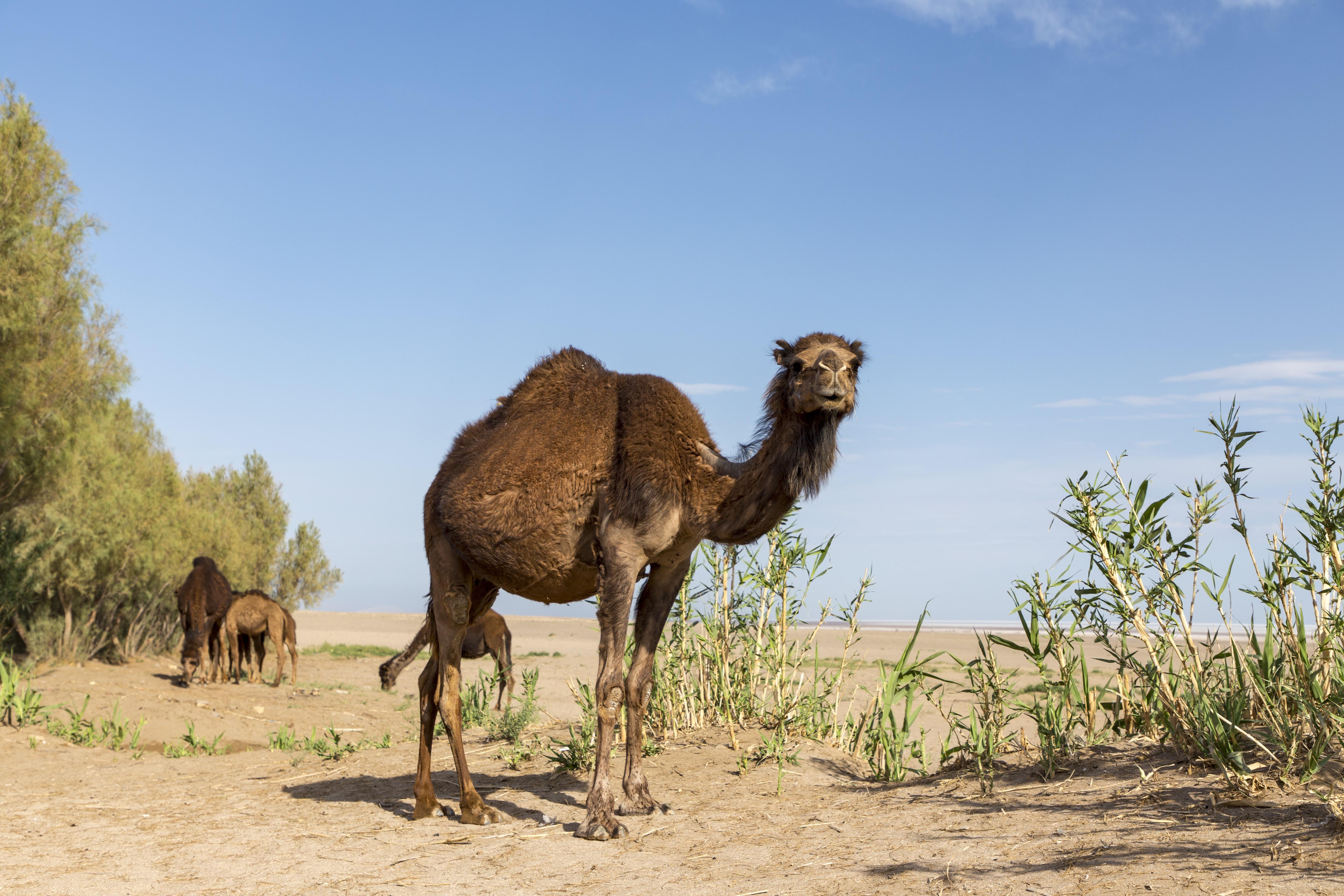 Camel in Maranjab desert