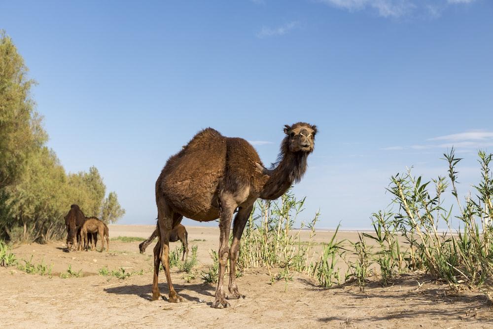 brown camel during daytime