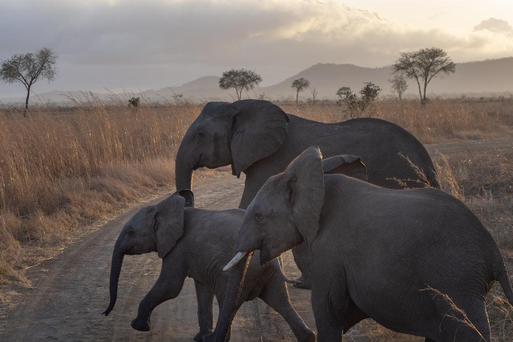 three elephants passing on road